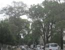 """Nỗ lực cứu hàng nghìn """"cây biểu tượng"""" của phố núi Pleiku"""