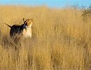 Du khách Mỹ thiệt mạng vì bị sư tử Nam Phi tấn công