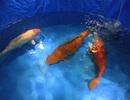 Hà Nội: Xuất hiện con cá chép Nhật giá 200 triệu đồng