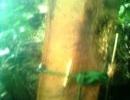 Lại rộ tin người đi rừng trúng 3 cây sưa tiền tỷ