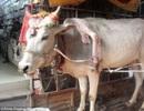 Chú bò 5 chân và hành trình vòng quanh Ấn Độ