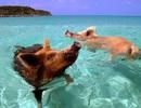 Lạ mắt với hình ảnh lợn rừng... bơi lội cùng du khách