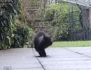 Mèo chỉ có 2 chân vẫn đi lại như thường
