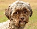 Chó có khuôn mặt giống người