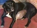 Chó nhận thú Tatu làm con
