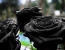 """Cận cảnh loài hoa hồng đen """"độc nhất vô nhị"""" trên thế giới"""