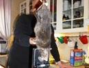 Bắt được chuột khổng lồ gặm thủng tường bê tông