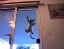 Bái phục chú mèo có khả năng leo trèo trên mặt kính