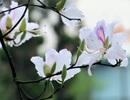 Hoa ban nở trắng trong khu di tích bà Hoàng Thị Loan