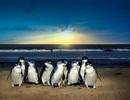 """15 con chim cánh cụt bay """"chuyên cơ"""" ra Phú Quốc"""