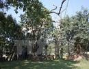 Tuyên Quang: Sự hồi sinh kỳ diệu của cây đa Tân Trào lịch sử
