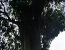 3 cây cổ thụ trên 300 tuổi trong khu lưu niệm Đại thi hào Nguyễn Du