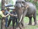 Cắt ngà để cứu voi Thoong Ngân