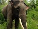 Đắk Lắk: Voi đực bị cưa trộm ngà trong vườn quốc gia