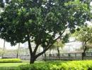 TPHCM: Những loại cây cấm trồng trên đường phố