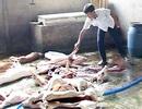 Lò mổ lợn chết, lợn bệnh bán ra thị trường