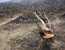 Myanmar bắt 155 người Trung Quốc vì buôn gỗ lậu