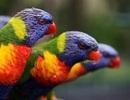 Chim phân biệt được nhiều màu sắc hơn người