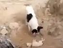 Xúc động cảnh chó chôn xác đồng loại trong cát