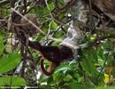 Trăn rình bắt khỉ, nuốt sống ngay trên cây