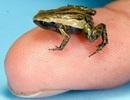 Loài ếch tí hon nghe bằng… miệng
