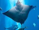 Lớp cá sụn đối mặt với nguy cơ tuyệt chủng