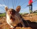 Đội quân chuột dò mìn sắp đến Việt Nam