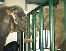 Bằng chứng hiếm có về tình bạn cảm động của voi
