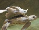 Chùm ảnh thú vị của rùa bạch tạng