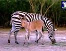 Sinh vật hiếm hoi lai tạo từ ngựa vằn và lừa