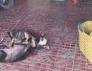 Hai tên trộm chó chuyên nghiệp sa lưới