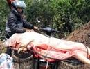 Mang lợn dịch bệnh đi bán cho người tiêu dùng