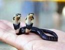 Rắn hổ mang 2 đầu ở Trung Quốc