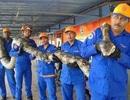 """Bắt được trăn """"khủng"""" dài nhất thế giới tại Malaysia"""