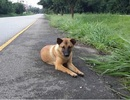 Cái kết buồn cho chú chó trung thành đứng đợi chủ suốt một năm