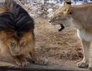 """Hài hước khoảnh khắc sư tử đực bị vợ """"mắng"""" vì dọa sư tử con"""