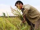 Người dân hối hả gặt lúa chạy bão