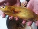 Cá rô vàng được trả giá 10 triệu giống một dạng... bạch tạng?
