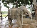Hàng rào điện giúp voi có cuộc sống như tự nhiên