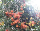 Khám phá chôm chôm Long Khánh ngày mùa
