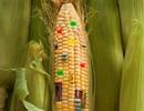 Giống cây biến đổi gen: Bộ quyết rồi, ai dám nói ngược?