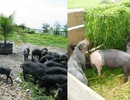 PEABE – Chương trình đảm bảo hiệu quả sử dụng phụ phẩm nông nghiệp trong chăn nuôi sinh thái tại Việt Nam