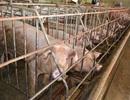 """""""Phong tỏa"""" 2 đàn lợn được vỗ béo bằng chất cấm hàm lượng cao"""