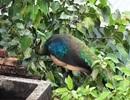 TP.HCM: Chim công quý bất ngờ đậu kiếm ăn trên mái nhà dân
