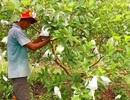 """""""Hai lúa"""" kiếm tiền triệu từ trồng ổi không hạt theo quy trình sạch"""