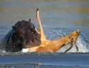 Linh dương thoát chết trong tích tắc khỏi nanh vuốt hai sát thủ săn mồi