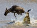 Ngoạn mục cảnh linh dương thoát khỏi vòng vây cá sấu khổng lồ trong tích tắc