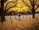 Không gian phủ vàng màu lá rẻ quạt của con đường lãng mạn nhất thế giới