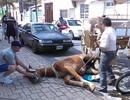 Ngựa du lịch bị bỏ đói, đột nhiên ngã lăn ra đất vì kiệt sức
