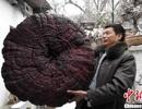 Tìm thấy nấm linh chi khổng lồ, nặng gần 9kg, to như cái ô